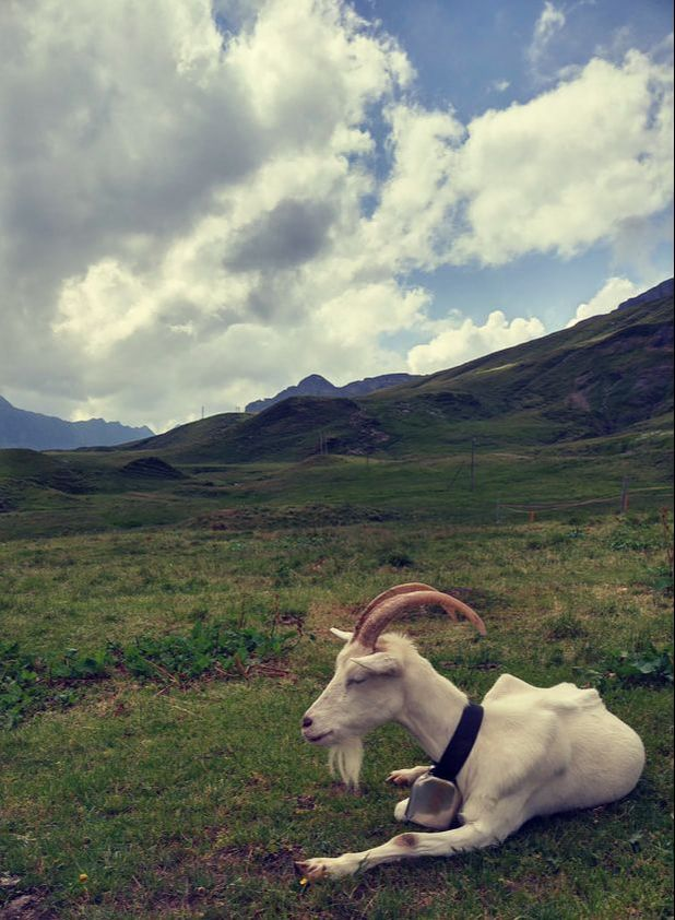 Realy Swiss Mountain Goat - pic taken by Danny the coach